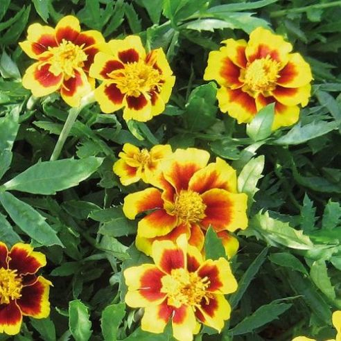 Marigold Legion of Honour - 10 grams - Bulk Discounts available